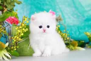 white mèo con