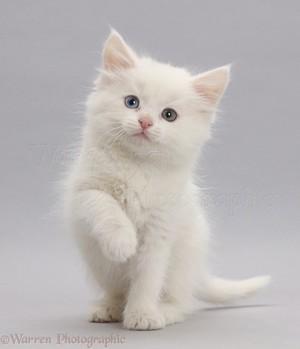 white 小猫