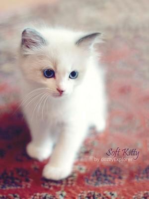 white anak kucing