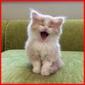 yawning - cute-kittens photo