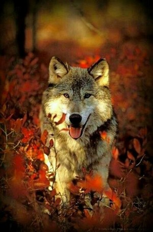 Autumn волк