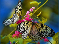 Beautiful Butterflies - butterflies photo