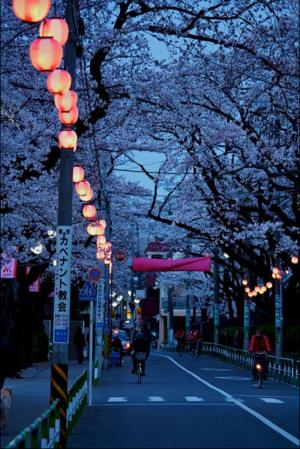 چیری, آلو بالو Blossom in Japan