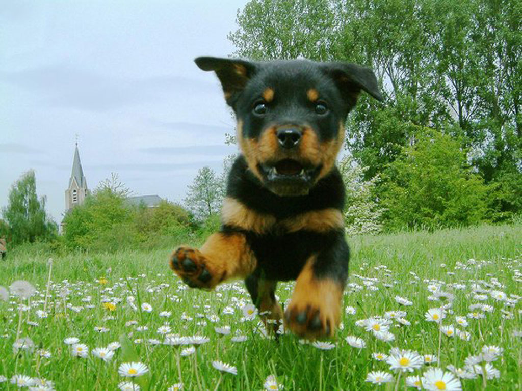 Peaceandlove67 Images Cute Rottweiler Pup Hd Wallpaper And