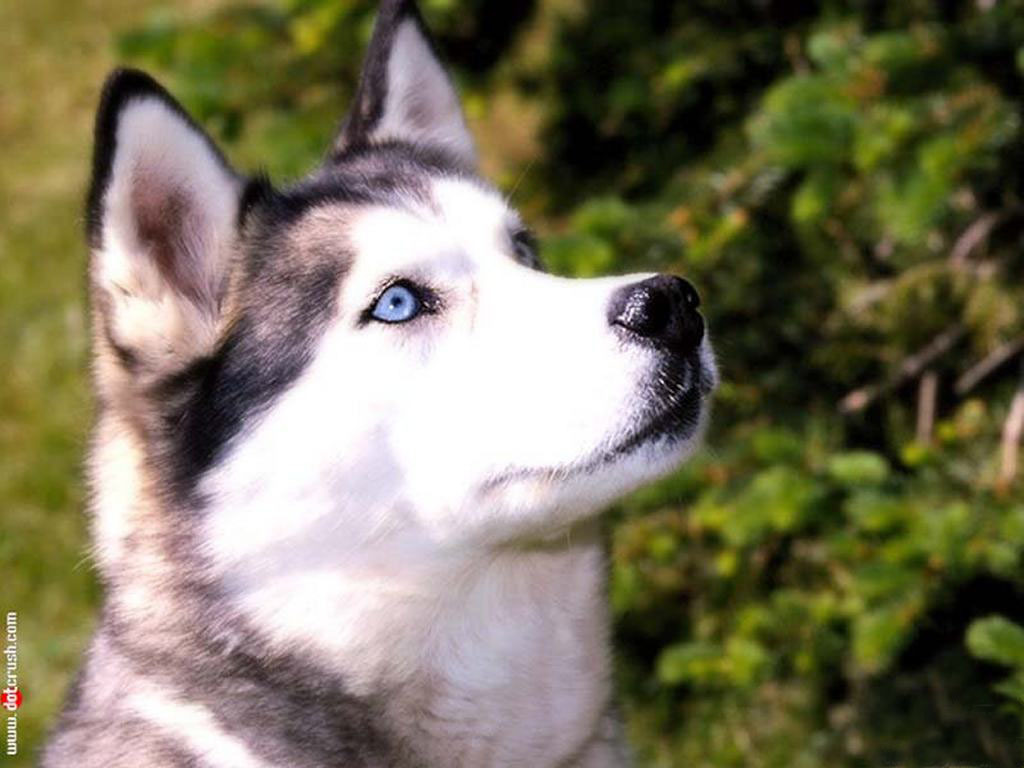 Peaceandlove67 Images Siberian Husky Hd Wallpaper And Background