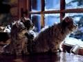 sweet winter kitten❄ - animals photo