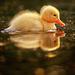 duck icon - princessnomy icon