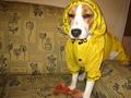 rainy day (my dog Fugu) - fanpop-pets photo
