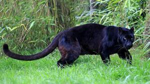 Black 표범, 팬더