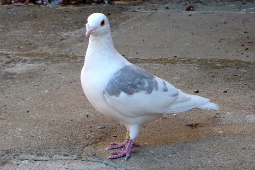 Doves Hintergrund entitled taube
