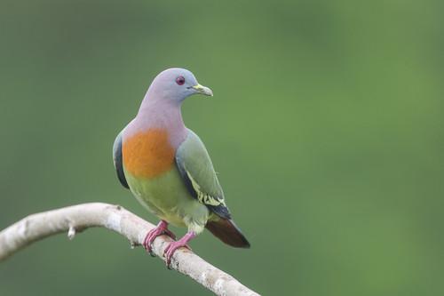 Doves Hintergrund called taube