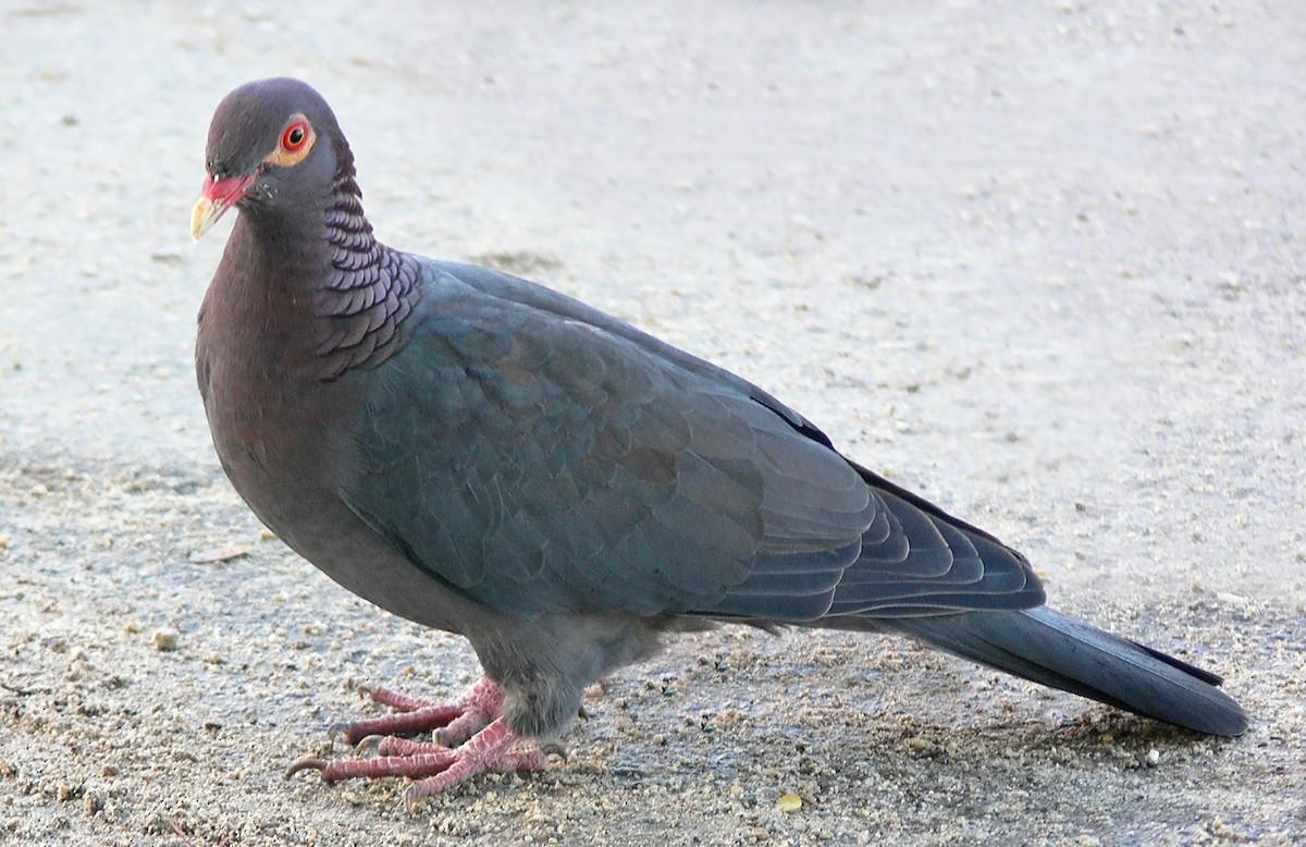 कबूतर