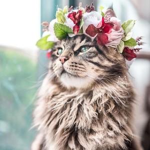 hoa Crown Cat