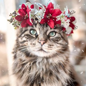 blume Crown Cat