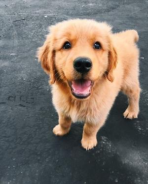 sweet golden retriever dog puppy💖