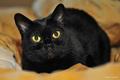 Beautiful Black Cat - cats photo