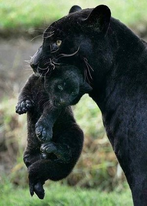 Black pantera, panther And Her Cub