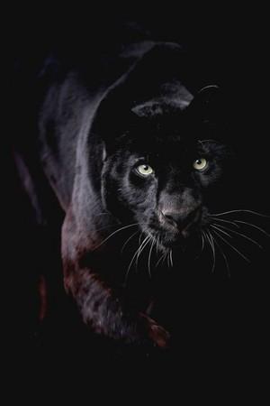 Black パンサー