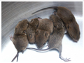 Cute Mice - random photo