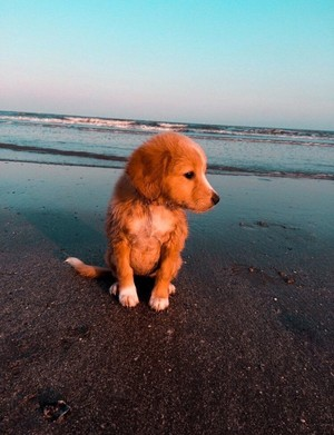 sweet golden retriever💖