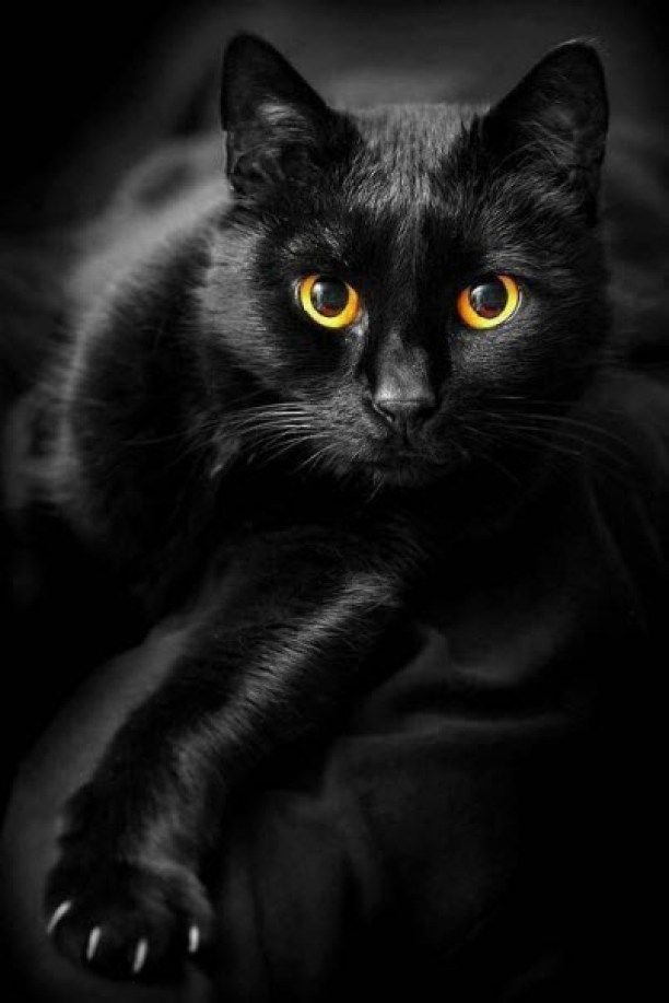Beautiful Black Cat Chats Photo 42078520 Fanpop