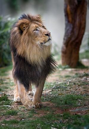 Beautiful Lion 💖