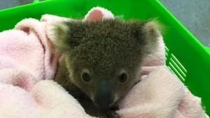 cute baby koalas