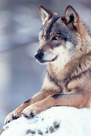 Beautiful serigala, wolf 💖