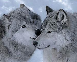Beautiful serigala 💖