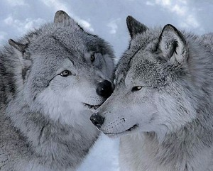 Beautiful mga lobo 💖