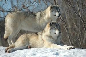 Beautiful 늑대 💖