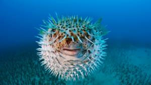 Puffer pesce