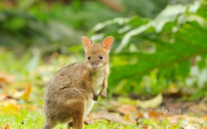 Red Legged Pademelon Joey