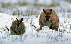 Wallaby with young in snow Tasmania Australia