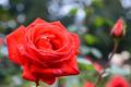 Beautiful Roses - roses photo
