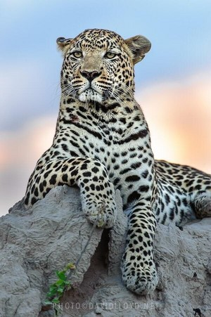 beautiful leopard🐆