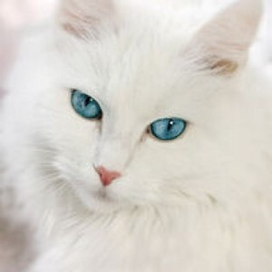 beautiful Turkish Angora cat💖