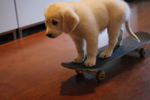 skateboarding puppies