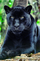 Black Panther - beautiful-things photo