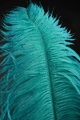 Blue Peacock Feather