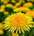 Dandelions 💛 - beautiful-things photo