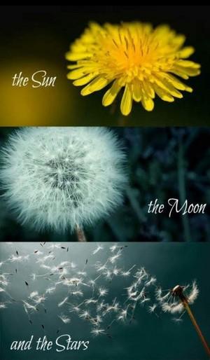 Dandelions 💛
