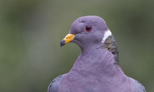 Doves Hintergrund titled taube