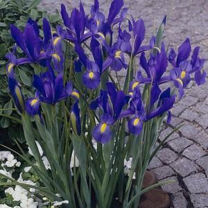 Irises For My Friend