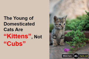 Kitten Facts