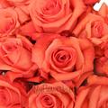 orange Coral roses