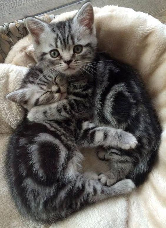Silver Gray Tabby chatons