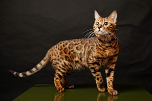 bengal ネコ