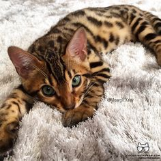 bengal gatinhos