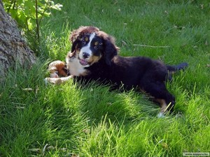 cute Bernese mountain dog💖